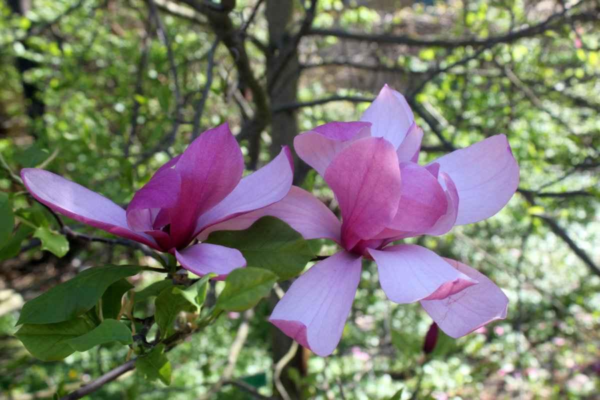 botsad_2018-04-22---magnolii 014-011.jpg
