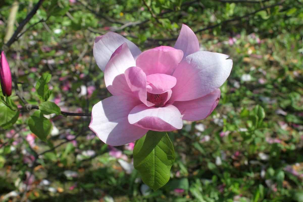 botsad_2018-04-22---magnolii 015-012.jpg