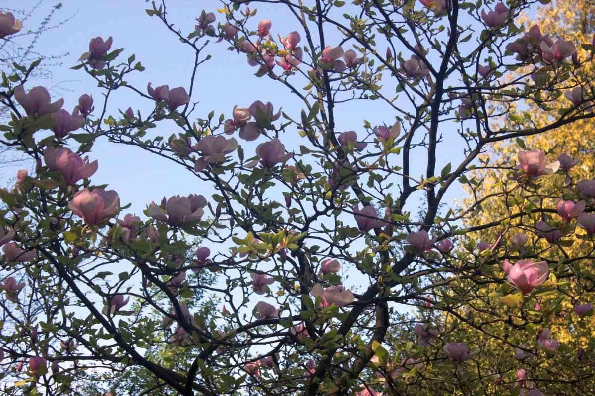 botsad_2018-04-22---magnolii 025-022.jpg